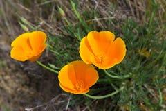 Drei goldene Mohnblumen Kaliforniens stockbilder