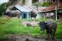 Ein Trio des Ochsen Stockfoto