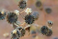 Ein trockener achteckiger Samen Stockfotografie