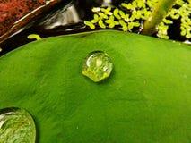 Ein Tropfen des Wassers auf einem Lotosblatt Lizenzfreie Stockfotografie