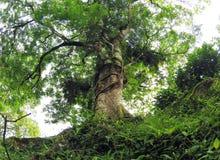 Ein tropischer Baum mit Farnen u. Wurzeln Stockbild