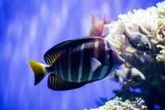 Ein tropischer Fisch Stockbild