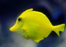 Ein tropischer gelber Fisch Lizenzfreie Stockfotos