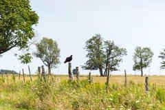 Ein Truthahngeier steht auf einem Zaunposten still lizenzfreies stockfoto