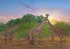 Ein Turm von Thornicroft-Giraffe stehend auf den Afrikanerebenen mit einem netten Sonnenunterganghimmel, Süd-luangwa Nationalpark Stockfotografie
