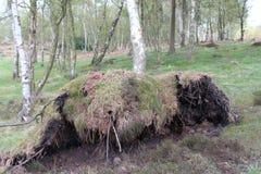 Ein umgedrehter Baum in einem Buchenwaldland Lizenzfreies Stockfoto