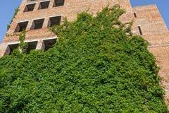 Ein unfertiges Gebäude des roten Backsteins wird mit grünem Efeu bedeckt stockfotos