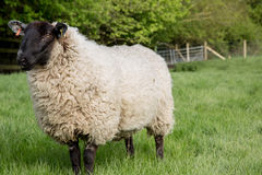 Ein unshorn Schaf auf einem Gebiet Stockbilder