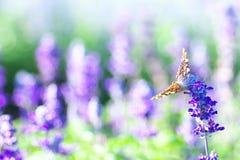 Ein Vanessa cardui, das auf einer Lavendelblume landet Stockbilder
