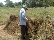 Ein Vater wurde indischer Sesam die Ernte stockfotos
