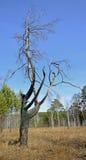 Ein verkohlter Baum auf dem Hintergrund des blauen Himmels Nach dem Feuer Lizenzfreies Stockbild