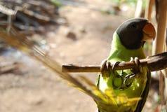 Ein verrückter Papageienvogel mit Kette auf Bein lizenzfreie stockbilder