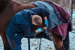 Ein Veterinärmann, der ein braunes reinrassiges Pferd, Papillomasabbauverfahren mit cryodestruction, in einem im Freien behandelt stockfotos