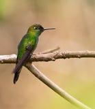 Ein Viel-beschmutzter Kolibri auf Zweig Stockbild