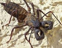 Ein Vinegaroon, alias ein Peitsche-Skorpion Stockfoto
