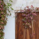 Ein Virginia-Kriechpflanzenweinbau um ein altes verschalt herauf Fenster in einer Wand bedeckt mit abblätterndem Stuck stockfotos