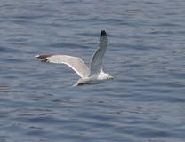 Ein Vogel über dem Meer Stockfotografie