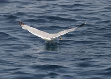Ein Vogel über dem Meer Stockbilder