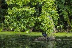 Ein Vogel auf einem Nest im Wasser Lizenzfreie Stockfotografie