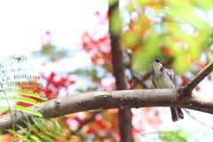 Ein Vogel auf einer Niederlassung des Flammenbaums Lizenzfreie Stockfotos