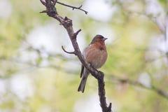 Ein Vogel auf einer Niederlassung eines Baums mit einer roten Brust Stockfotografie