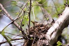 Ein Vogel auf einer Niederlassung im Nest Foto Stockbilder