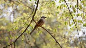 Ein Vogel auf Niederlassung des Baums in Südkorea Lizenzfreie Stockbilder