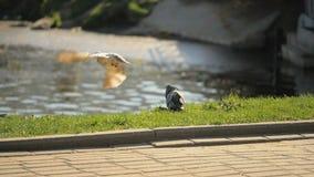 Ein Vogel belästigt bis ein anderer - slowmotion 180 fps stock video footage