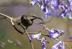 Ein Vogel in den Niederlassungen von Jacaranda Lizenzfreie Stockfotografie