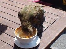 Ein Vogel, der übrig gebliebenen Kaffee isst Stockfotografie
