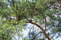Ein Vogel, der auf einem Zweig sitzt Buteo sitzt auf einem Baum Stockfotos