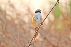 Ein Vogel, der auf einer Niederlassungsnahaufnahme in maina cuirtorim Goa sitzt Stockfotos