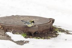 ein Vogel der Meise sitzt auf einem thermischen Abwasserkanal in der Stadt, um Th Lizenzfreie Stockfotografie