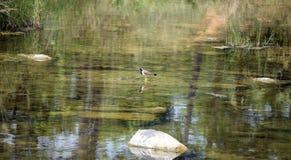 Ein Vogel, der seinen Schatten auf dem Wasser wirft Stockfotos