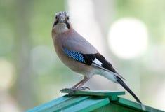 Ein Vogel, ein Eichelhäher ruhig anstarrend entlang der Kamera lizenzfreie stockfotos