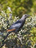 Ein Vogel in einem Baumast in Cape Town stockfoto