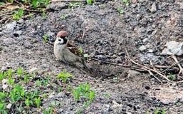 Ein Vogel ist ein gewöhnlicher Spatz Lizenzfreie Stockfotos