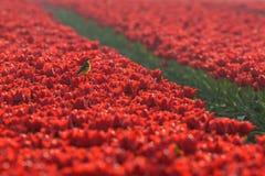 Ein Vogel sitzt auf einer Tulpe in einem roten Tulpenfeld Lizenzfreies Stockbild