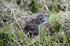 Ein Vogelbaby Stockbild