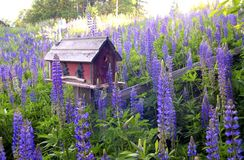 Ein Vogelhaus umgeben durch Lupine Stockbilder