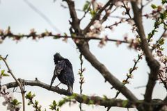 Ein Vogelstar auf einem blühenden Baum säubert Federn lizenzfreie stockfotos