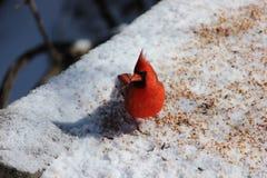 Ein vorsichtiger Kardinal, der heraus mich überprüft stockbilder