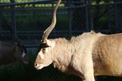 Ein Wüstenkuh-Wüstenkuh nasomaculatus Alias eine weiße Antilope oder Screwhorn-Antilope stockfoto