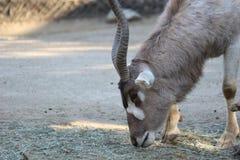 Ein Wüstenkuh-Wüstenkuh nasomaculatus Alias eine weiße Antilope oder Screwhorn-Antilope stockfotografie