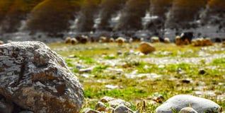 Ein Wüstenfelsen- und -schafin herden leben stockfotos
