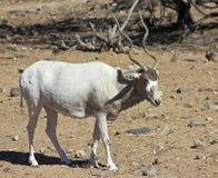 Ein Wüstenkuh nasomaculatus, das Weiß oder Screwhorn, Antilope Stockbild