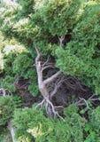 Ein Wacholderbusch ist in einem botanischen Garten Lizenzfreie Stockbilder