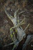 Ein Wacholderbuschbaumbaumstumpf am späten Nachmittag stockbild