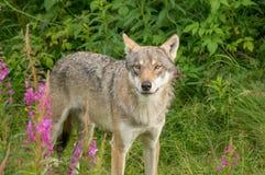 Ein wachsamer Wolf Stockfoto