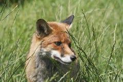 Ein wachsames junges Fuchsjunges im Gras Stockfotografie